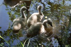 A family of swans with youngsters Royalty Free Stock Image