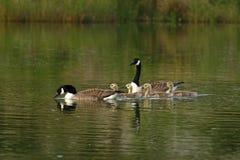 Family swim Stock Photo