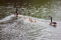 Family swim. A family of wild geese out for a swim on an Iowa lake Stock Image