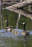 Family Swim Stock Photos
