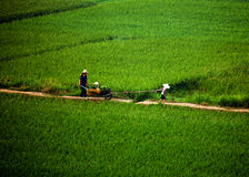 Family take a wheelbarrow through paddy field Stock Images