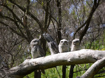 A family Tawny Frogmouth stock photography