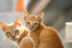 Family thai cat. Between cat and kitten Stock Images