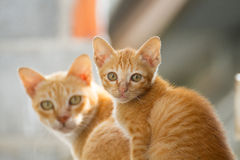 Family thai cat. Between cat and kitten Royalty Free Stock Photography