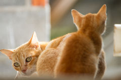 Family thai cat. Between cat and kitten Royalty Free Stock Photos