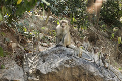 Family of Thai Monkey Royalty Free Stock Photography
