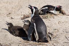 Family of three African penguins on Boulder Beach in Cape Peninsula Stock Photo