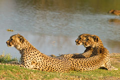 A Family of three cheetahs in Hwange National Park stock photo