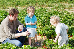 Family of three: father and twins boys on organic strawberry farm Stock Image