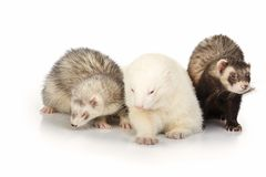 Family of three ferrets on whit background. Three ferrets on white background posing for portrait in studio royalty free stock image