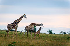 Family of three giraffes on savanna. Family of three giraffes along the grassland plains in South Africa's Entabeni private game reserve Royalty Free Stock Image