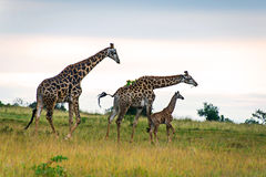 Family of three giraffes on savanna Royalty Free Stock Photos