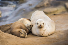 Family of three sea lions sleeping in the sun in San Diego, California Royalty Free Stock Photo