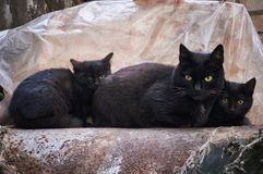 A family of three street black cats is heated on a pipe. Royalty Free Stock Image