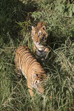 Family tiger Stock Images