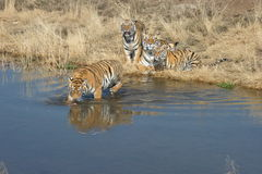 Family of Tigers Royalty Free Stock Image