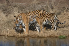 Family of Tigers Royalty Free Stock Images