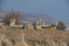 Family of Tigers Royalty Free Stock Photo