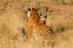 Family of tigers. A young tiger showing its affection to its mother Stock Photo