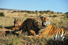 Family of tigers stock images