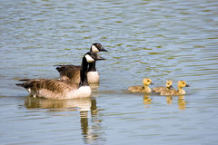 Family Time II. Canada goose, gander and three goslings swimming together royalty free stock photography