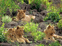 Family Time. This family of the King of the Jungle needs no introduction. Lion having siesta time with three cubs Stock Photos