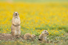 Family time. Lunch time for a family of prairie dogs in yellow field Royalty Free Stock Images