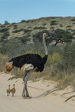 Family time. Male ostrich with two young chicks walking in the road in the Kgalagadi Transfrontier Park Stock Images