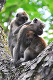 Family Time for a Monkey Family. A family of three long tailed macaque monkeys sharing some family time togther where one monkey grooms the fur of a mother Stock Images