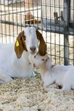 Brown and white female Boer goat sitting down next to her kid. Family time for mother and kid. Brown and white Boer goats sitting down royalty free stock photos