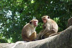 Family of Toque Macaque Monkeys Closeup. A closeup color image of a macaque monkey couple with baby on top of a rock in a clear dramatic portrait. These monkeys stock images