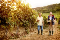 Family tradition happy father and son harvesting grapes Stock Images