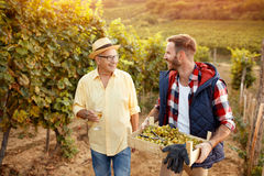 Family tradition father and son harvesting grapes. Family tradition smiling father and son harvesting grapes Stock Photography