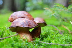 Family of tree Mushrooms in the moss Stock Photos