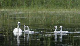 Family of Trumpeter Swans Stock Photography