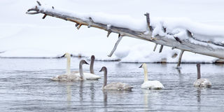 Family of trumpeter swans on Yellowstone River Royalty Free Stock Photo
