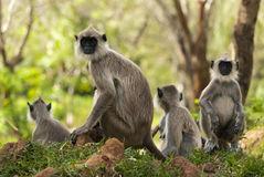 Family tselonskih langurs resting in the meadow. Attentive, interested gaze Royalty Free Stock Image