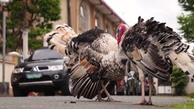 A family of turkeys roaming on a suburban street. In housing community stock footage