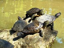 Family of turtles stock images