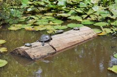 Family of turtles on a log Stock Image