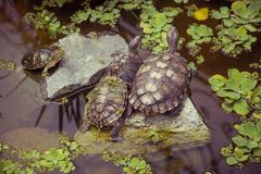 Family of turtles in pond. Nature, family, Animal, relationship Stock Photo