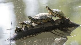 Family of turtles rest at sun. On pond Stock Photos
