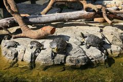 Family of turtles sunbathing on a rock royalty free stock image
