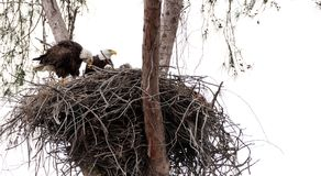 Family of two bald eagle Haliaeetus leucocephalus parents with t. Heir nest of chicks on Marco Island, Florida in the winter Royalty Free Stock Images