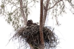 Family of two bald eagle Haliaeetus leucocephalus parents with t. Heir nest of chicks on Marco Island, Florida in the winter Royalty Free Stock Photography
