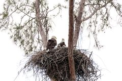 Family of two bald eagle Haliaeetus leucocephalus parents with t. Heir nest of chicks on Marco Island, Florida in the winter Stock Photos
