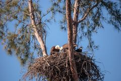 Family of two bald eagle Haliaeetus leucocephalus parents with t. Heir nest of chicks on Marco Island, Florida in the winter Stock Photo