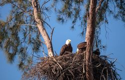 Family of two bald eagle Haliaeetus leucocephalus parents with t. Heir nest of chicks on Marco Island, Florida in the winter Stock Images