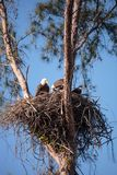 Family of two bald eagle Haliaeetus leucocephalus parents with t. Heir nest of chicks on Marco Island, Florida in the winter Stock Photography