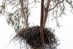 Family of two bald eagle Haliaeetus leucocephalus parents with t. Heir nest of chicks on Marco Island, Florida in the winter Royalty Free Stock Image